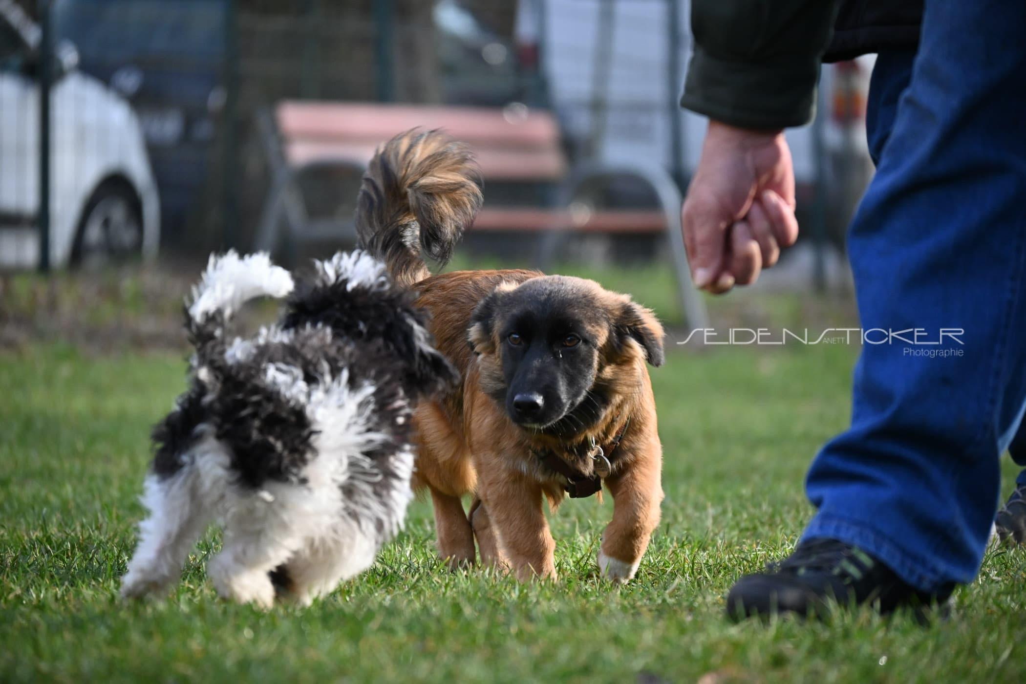 Seidensticker Welpen Junghunde Februar 2020 1